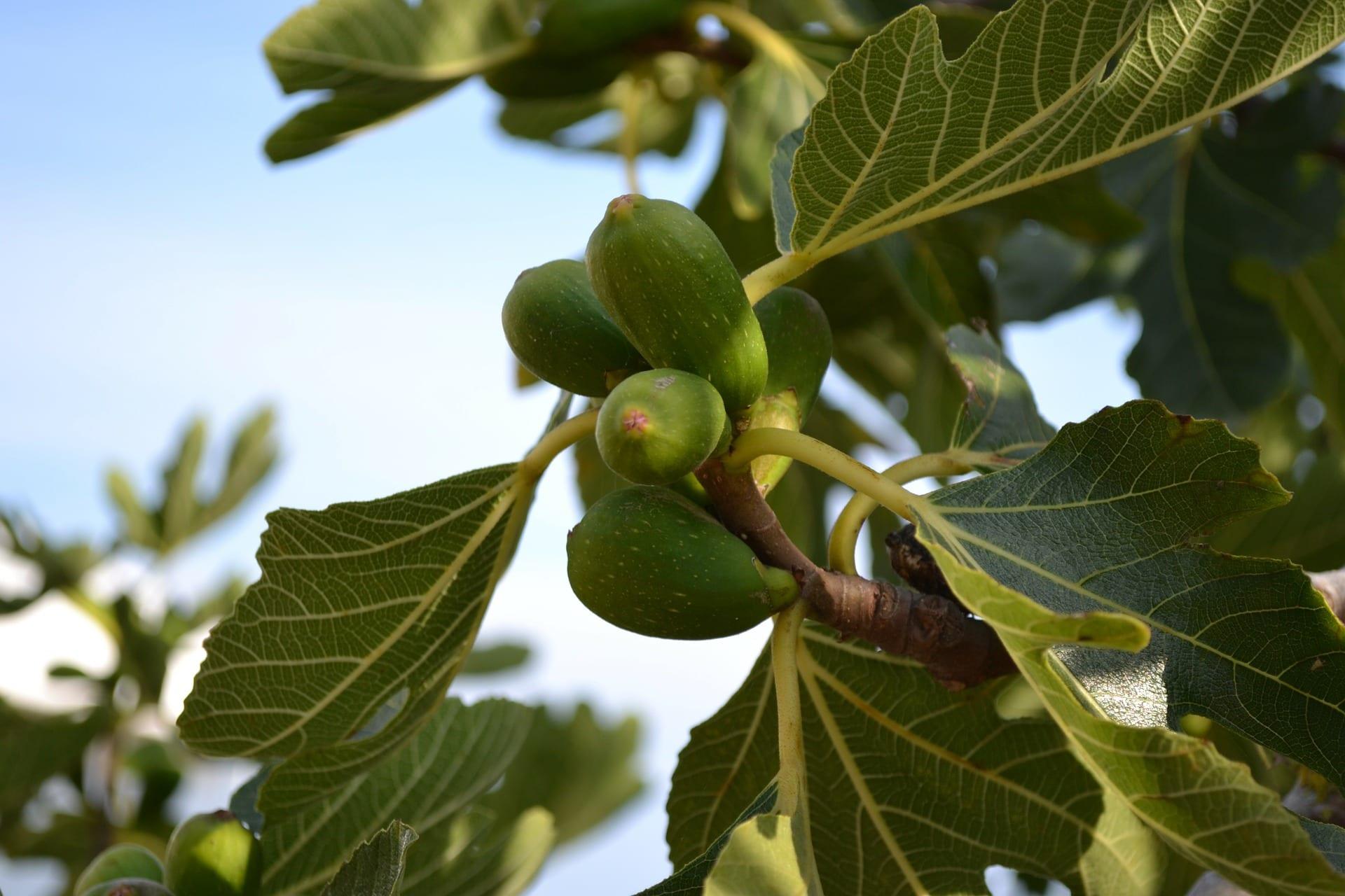 figovnik-list-figa-strom-plod
