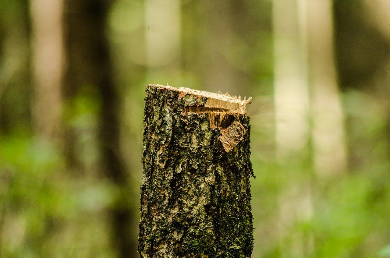 spileny-kmen-strom-kora-rez-les