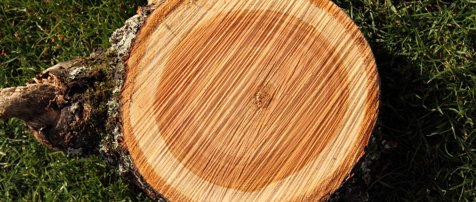 drevo-čerešňa