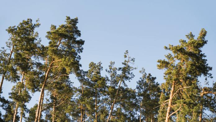 borovica-les-stromy-ihlicie-konare-obloha