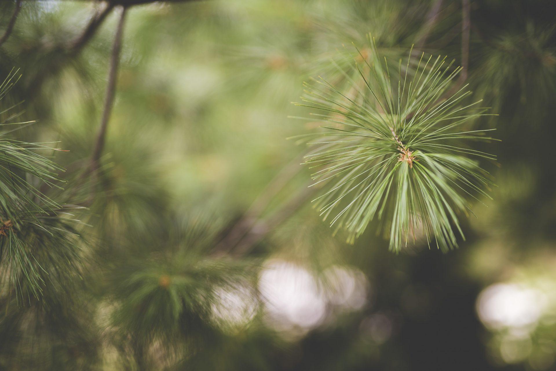 borovica-ihlicie-konar-strom-les-drevo-priroda