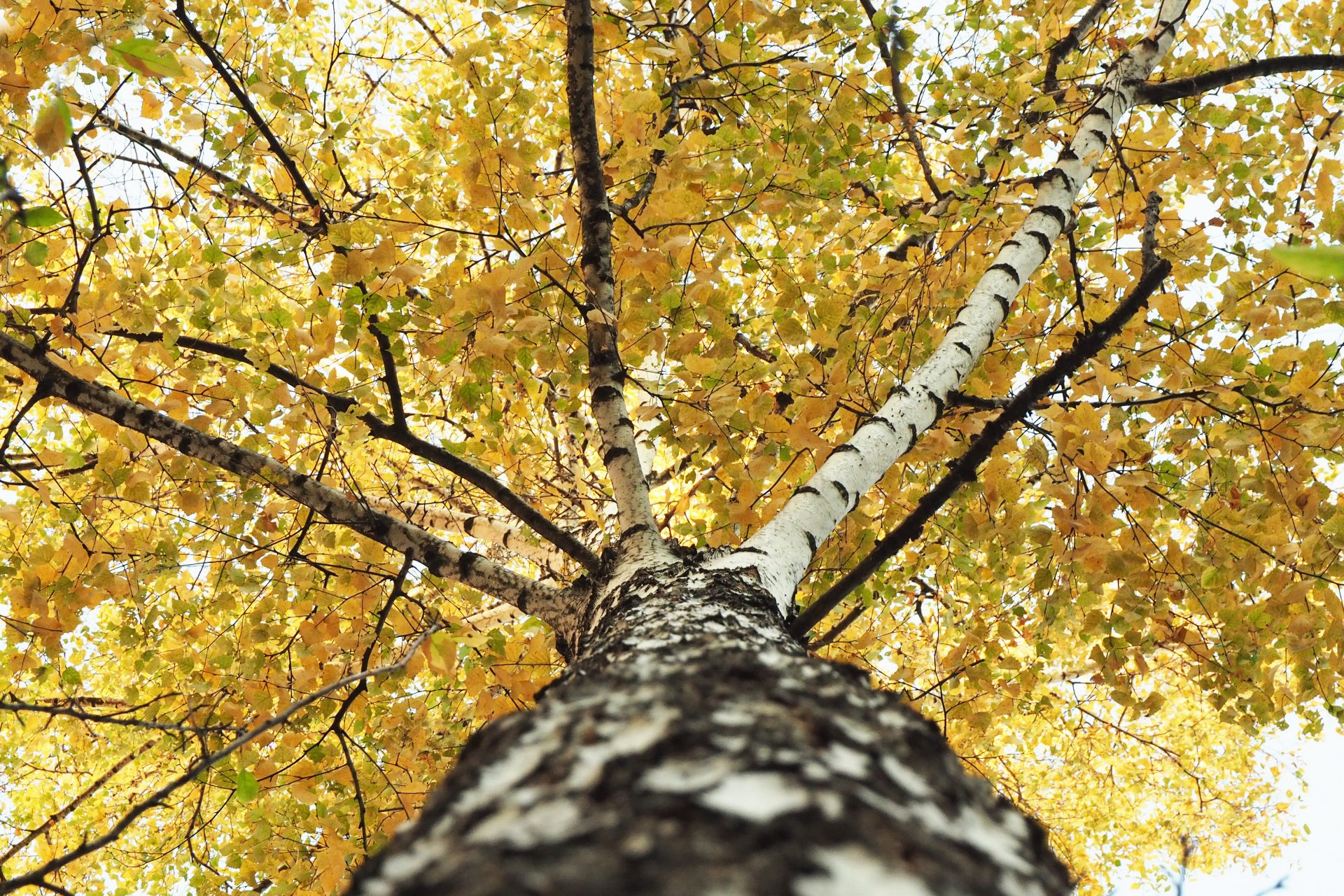 breza-kora-strom-listy-jesen-konare