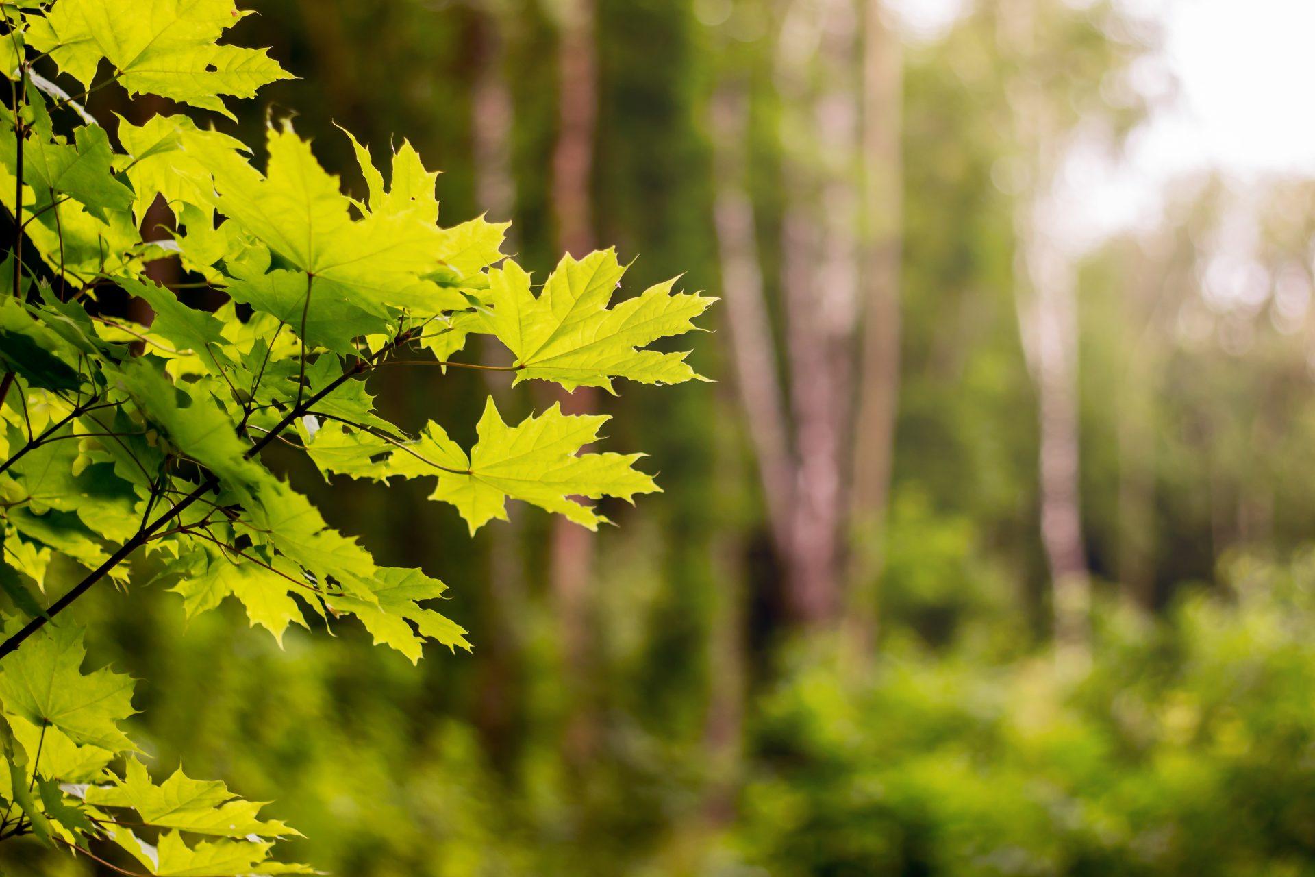 javor-listy-les-konare-strom-drevo-priroda