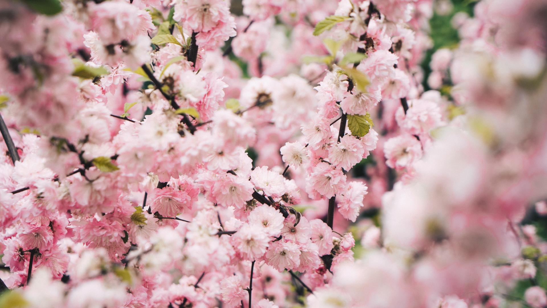 ceresna-kvety-ovocny-strom-konare-listy