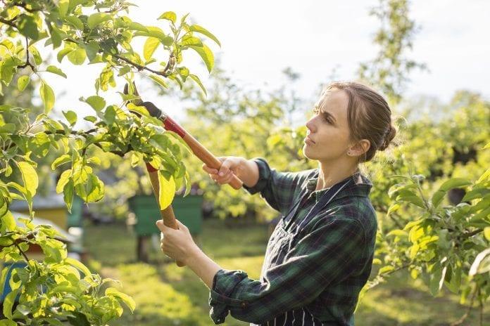zena-zastrihavanie-ovocny-strom-noznice-praca