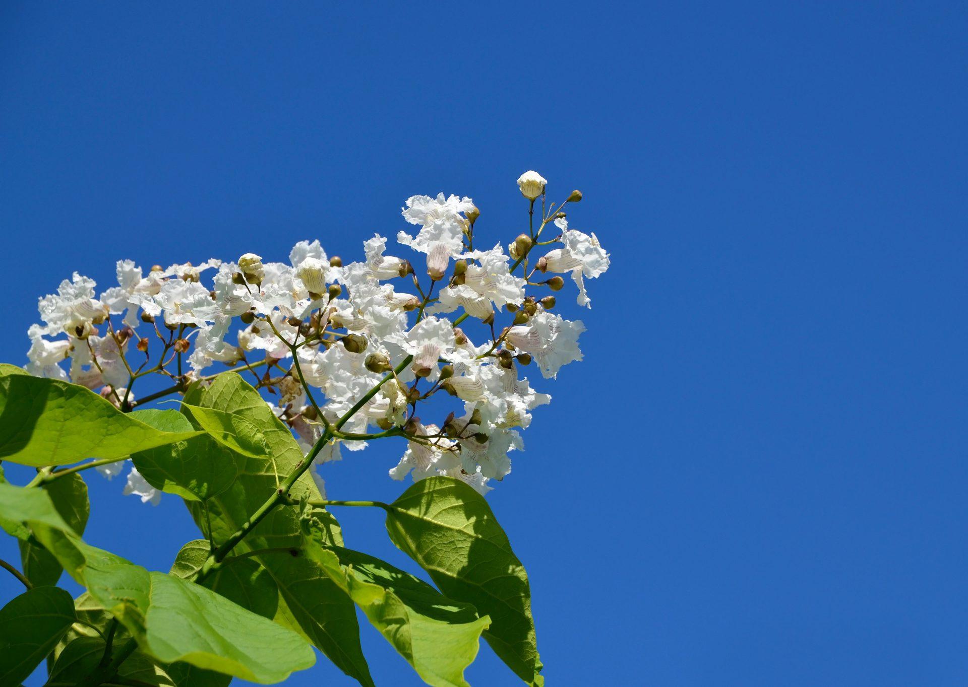 kvety-ovocny-strom-plody-obloha-listy