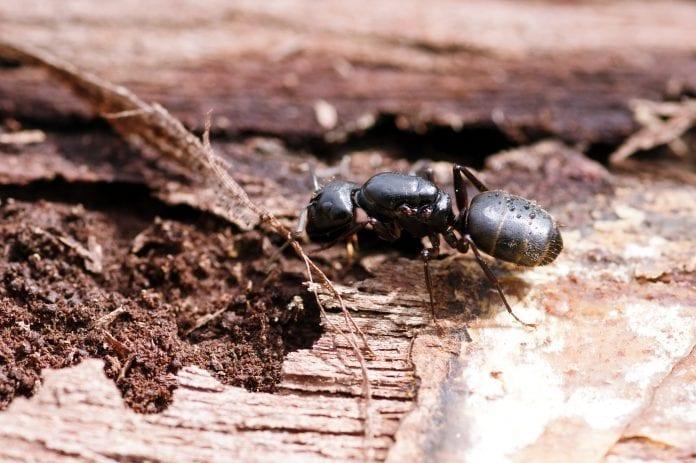 mravce v dreve
